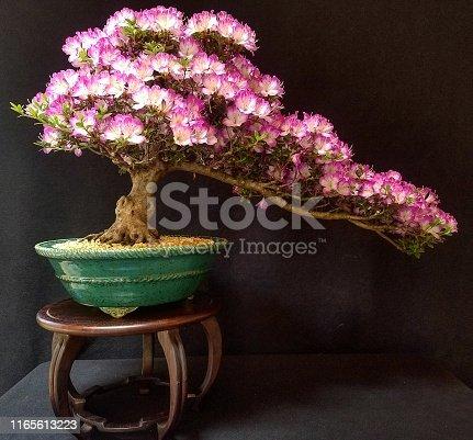 Satsuki Azalea in bloom