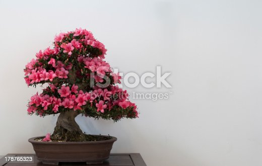 Satsuki bonsai tree on table