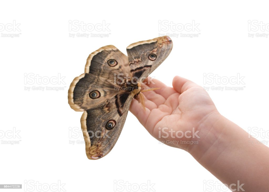 Saturnia pyri, the Giant Peacock Moth, is a Saturniid moth which is native to Europe stock photo