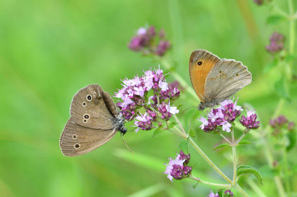Satyrinae butterfly and bee sitting together on origanum flower stock photo