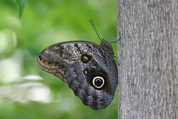 Satyrinae Butterfly stock photo