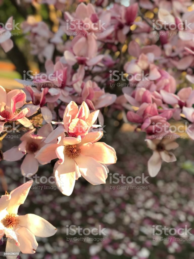 Saucer Magnolia Tree Stock Photo Download Image Now Istock