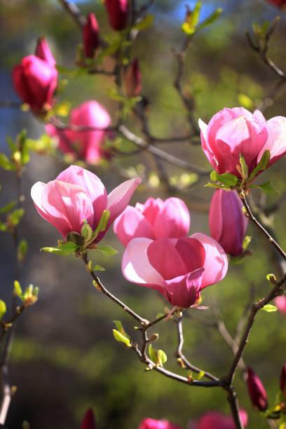 Saucer magnolias in voller Blüte – Foto
