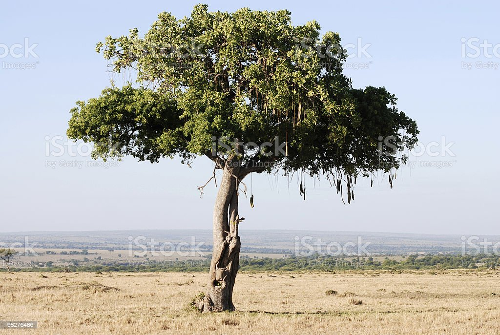 sausage tree in the serengeti national park, tanzania, africa royalty-free stock photo