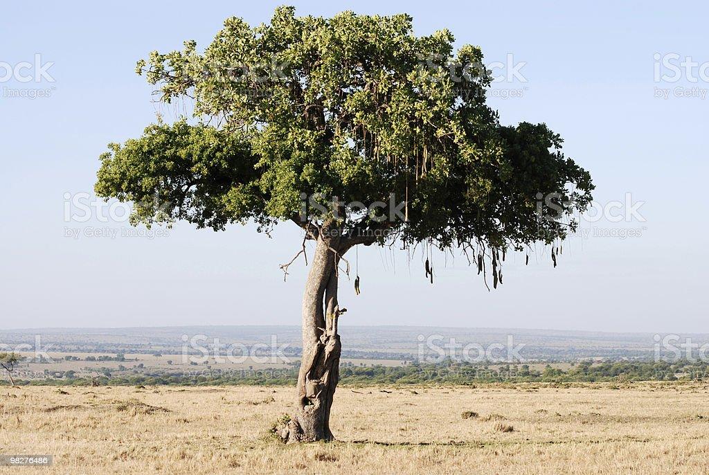 소시지나무 있는 세렝게티 국립 공원, 탄자니아, 아프리카 royalty-free 스톡 사진