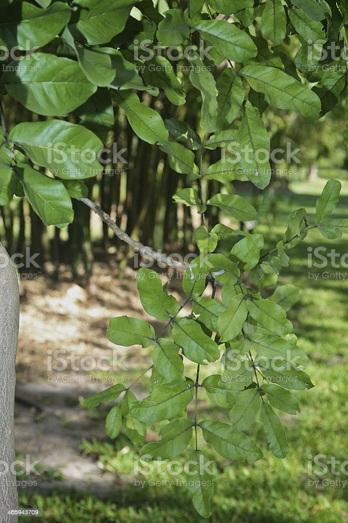 Sausage Tree Leaves stock photo