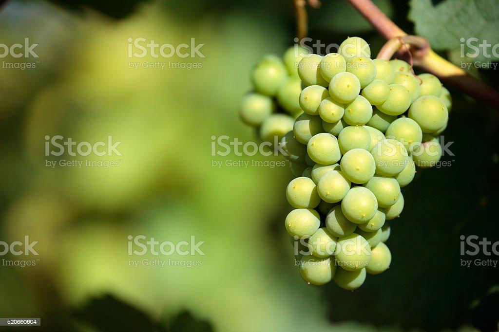 Sauvignon blanc white wine grapes vineyard stock photo
