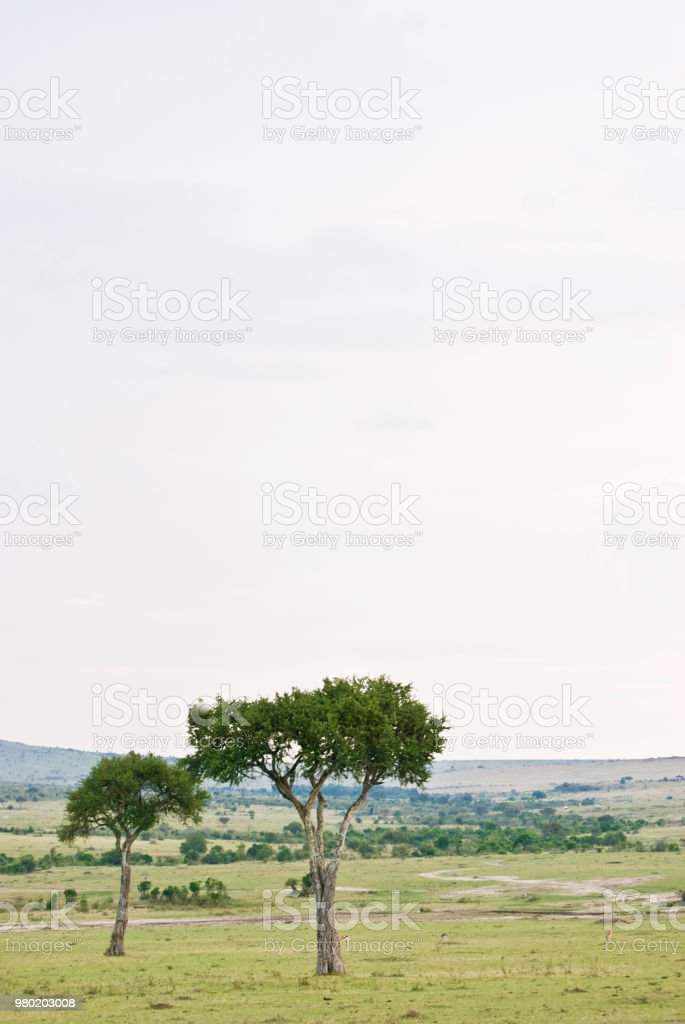 Savanah Landscape With Umbrella Thorn Acacia Tree Stock Photo More