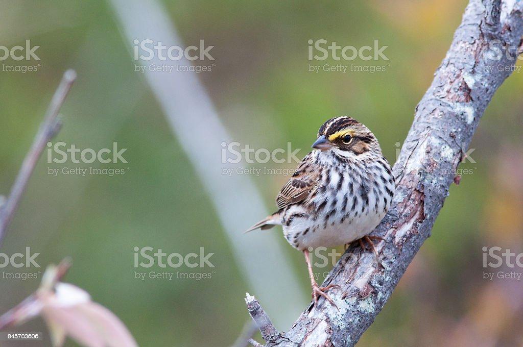 Savanah Sparrow stock photo