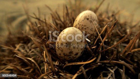 istock Savanna Nightjar (Caprimulgus affinis) nest and eggs 930546454