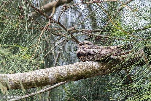 istock Savanna Nightjar  (Caprimulgus affinis) perching on tree at wetland of Hong Kong 1016955664
