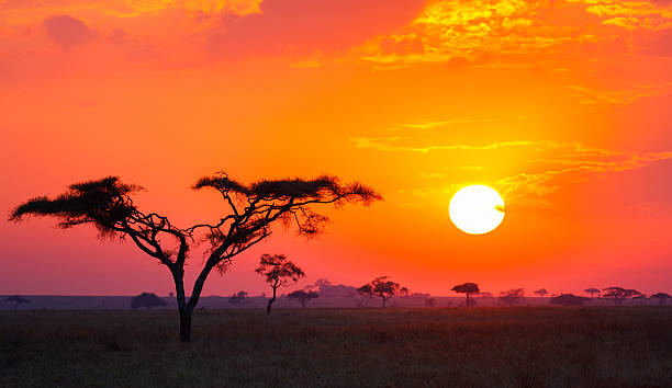 savanna sunrise and acacia tree in tanzania africa - 非洲 地理位置 個照片及圖片檔