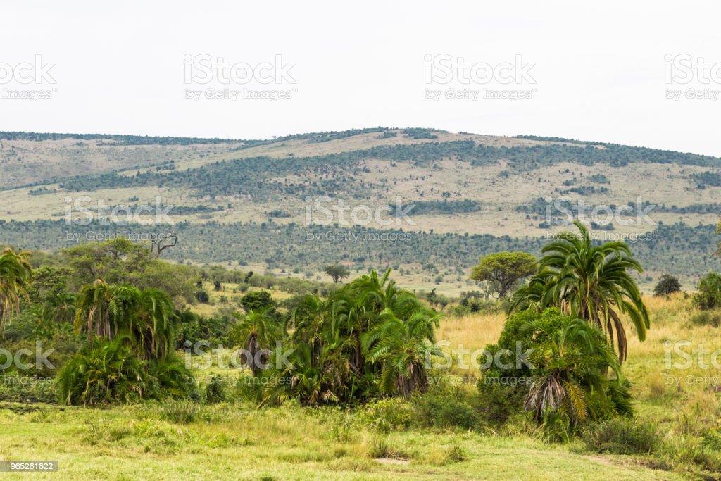Savannah can be and such. Masai Mara, Kenya zbiór zdjęć royalty-free