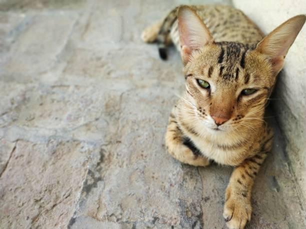 Savannah cat picture id1053583012?b=1&k=6&m=1053583012&s=612x612&w=0&h=x8rsrdzkpj0j1ledlvkonmztdgni vofizyl0bmvfsu=
