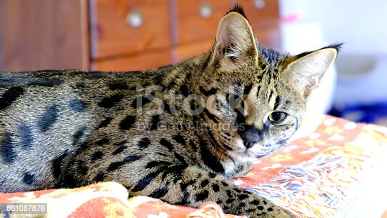 Savannah Cat resting on a bed