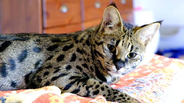 Savannah cat picture id861067876?b=1&k=6&m=861067876&s=612x612&w=0&h=844wo8iplu14yihbc781fj4l1sbobhhrvdnb3grblqu=