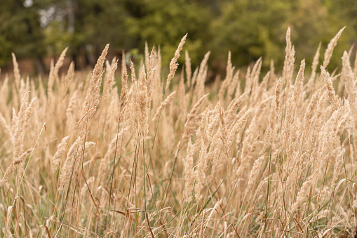 Savannah grass field in sun backlight,Twinkle with sunlight at noon.