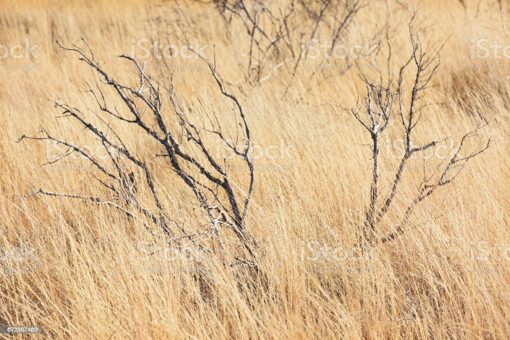 Savannah Grassland Chaparral Biome Dry Grass stock photo