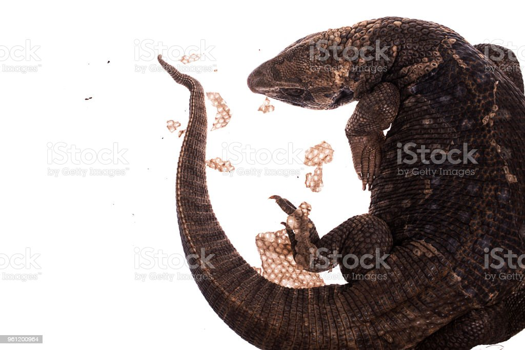 Savannah Monitor Lizard On white background stock photo