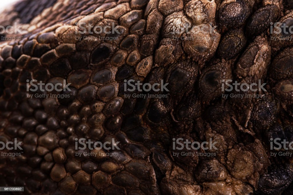Savannah Monitor Lizard Skin pattern stock photo
