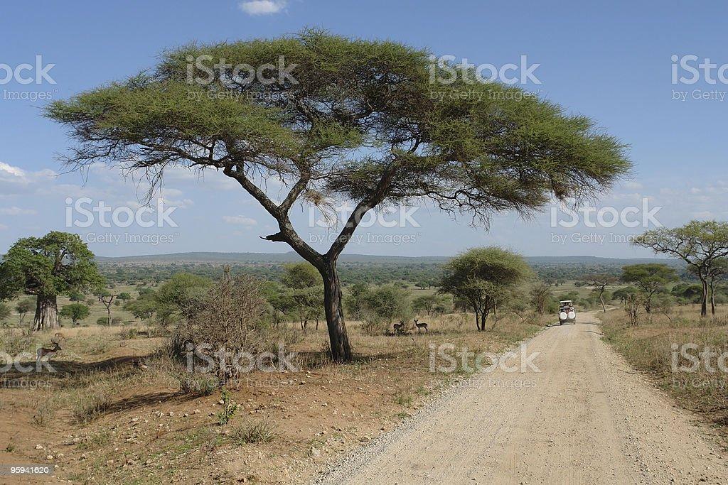 savannah scenery with Umbrella Acacia and road royalty-free stock photo