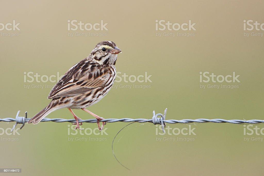 Savannah sparrow (Passerculus sandwichensis), Kissimmee, Florida, USA stock photo