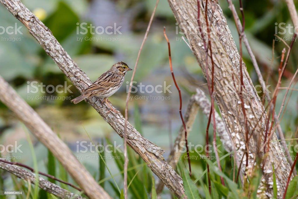 Savannah Sparrow (Passerculus sandwichensis) Perched On Branch stock photo