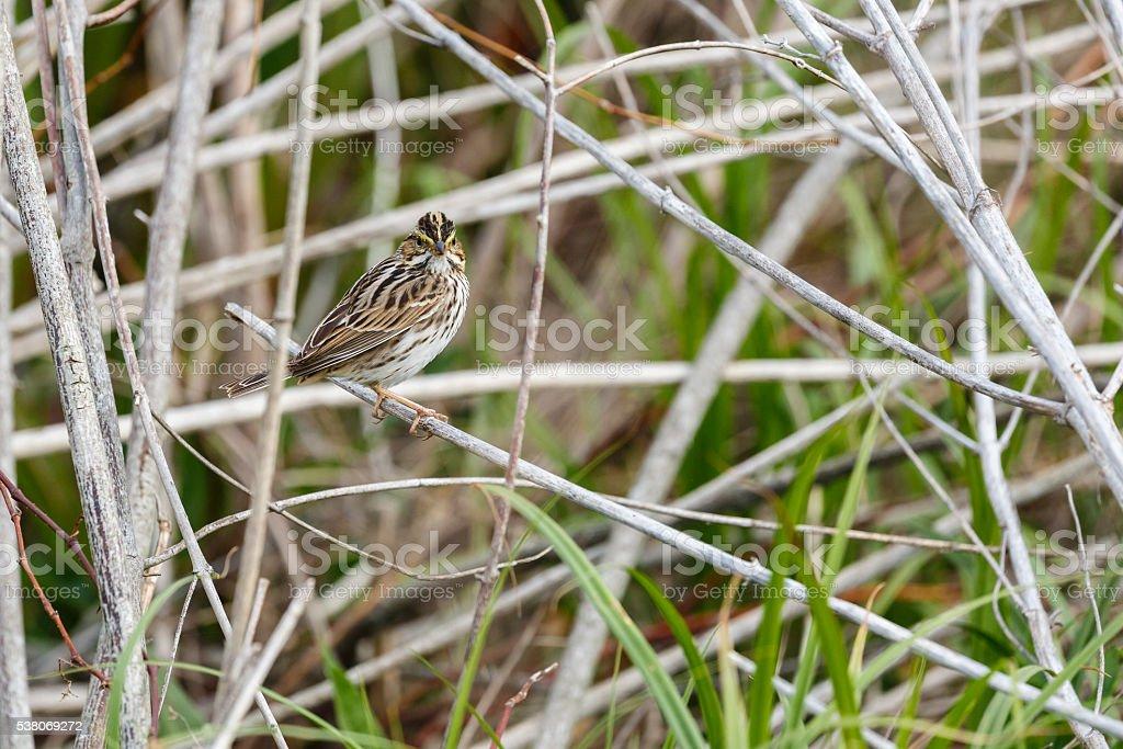 Savannah Sparrow (Passerculus sandwichensis) Perched stock photo