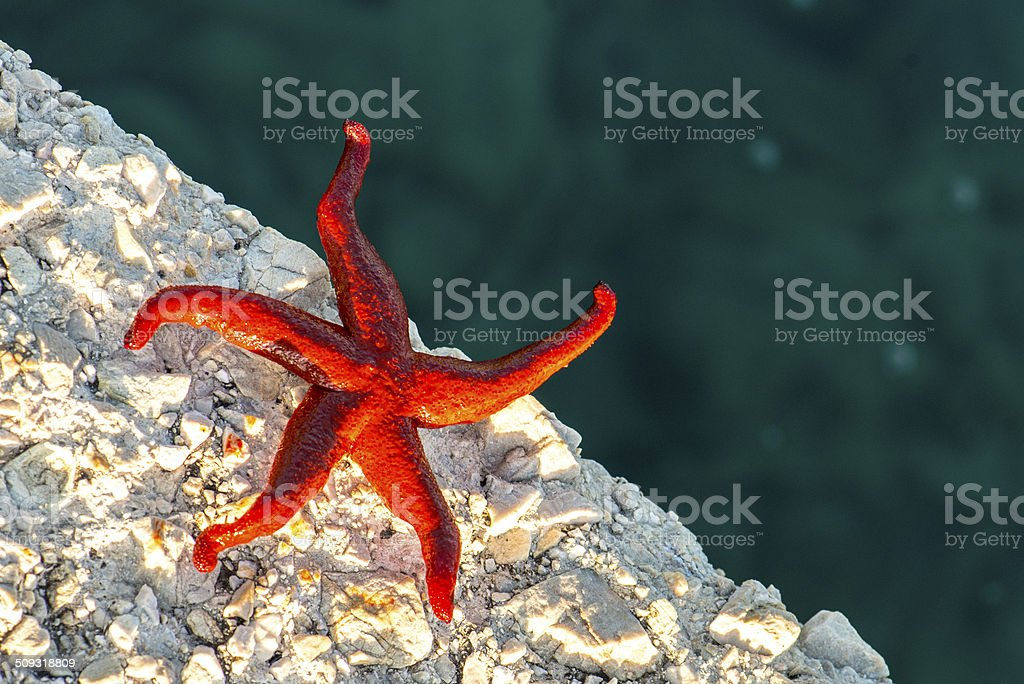 Save me! Starfish on dry fighting for life stock photo