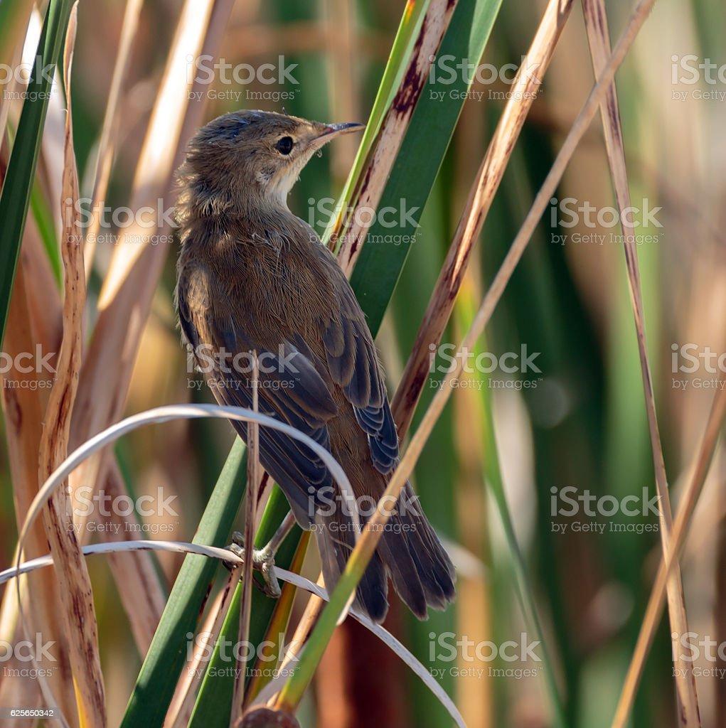 Savi's warbler in the reeds stock photo
