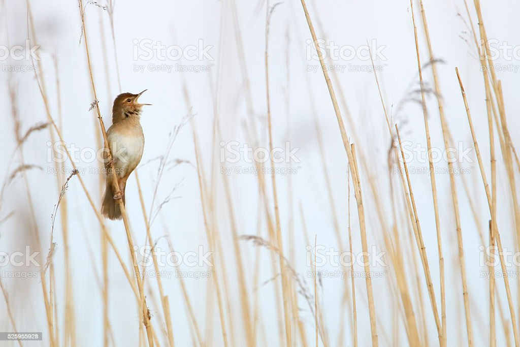 Savi's Warbler (Locustella luscinioides) singing in reed, Netherlands stock photo