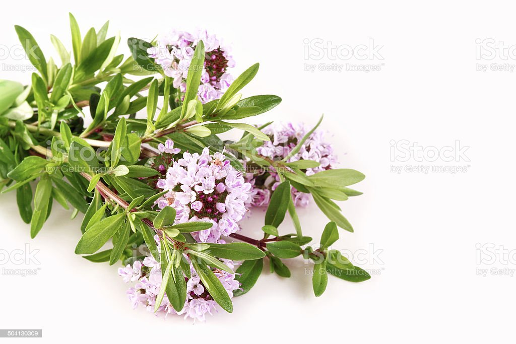 Savory with blossoms stock photo