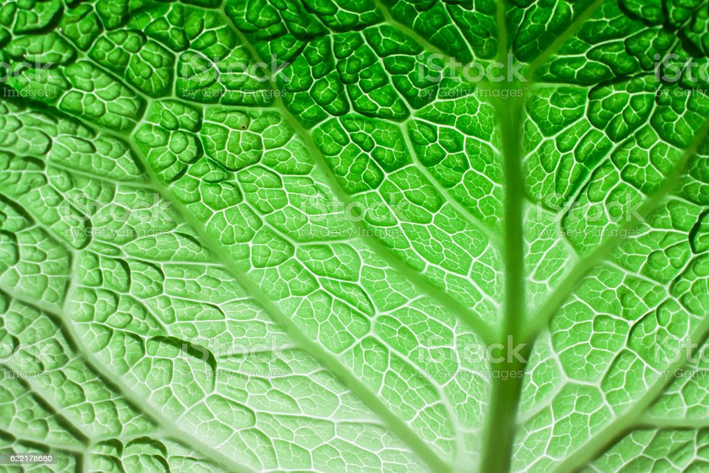 savoy cabbage leaf stock photo