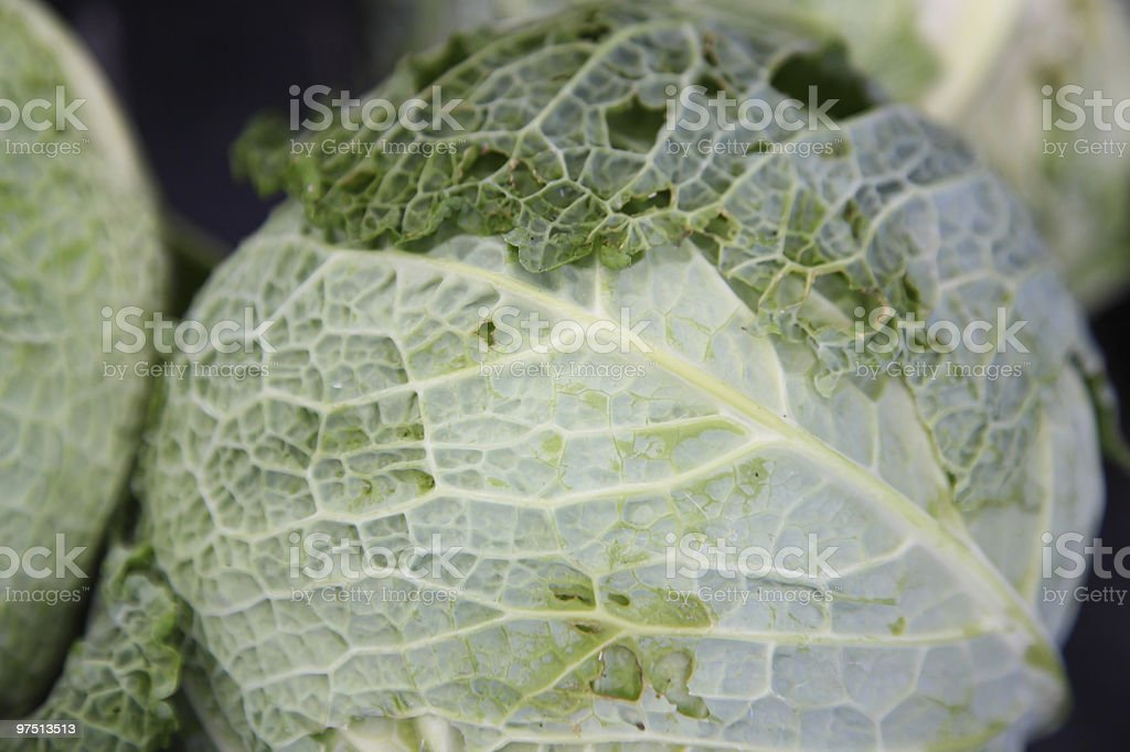 Savoy Cabbage royalty-free stock photo