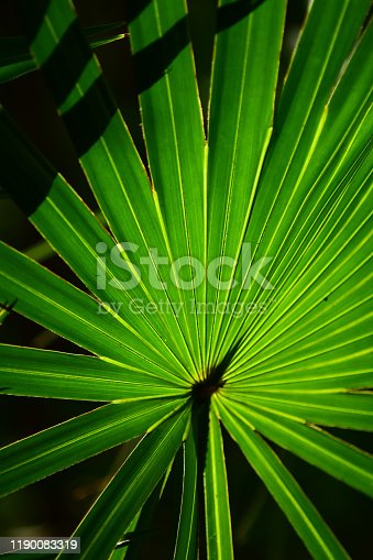 Vivid green backlit Saw Palmetto frond with fingers separating past the yellow seams that connect them. Photo taken at O'leno State Park in central Florida. Nikon D7200 with Nikon 200mm Macro lens.