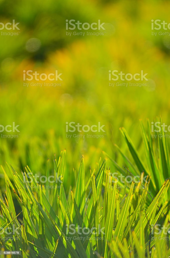 Saw palmetto frond-level shot with swirly defocused background stock photo