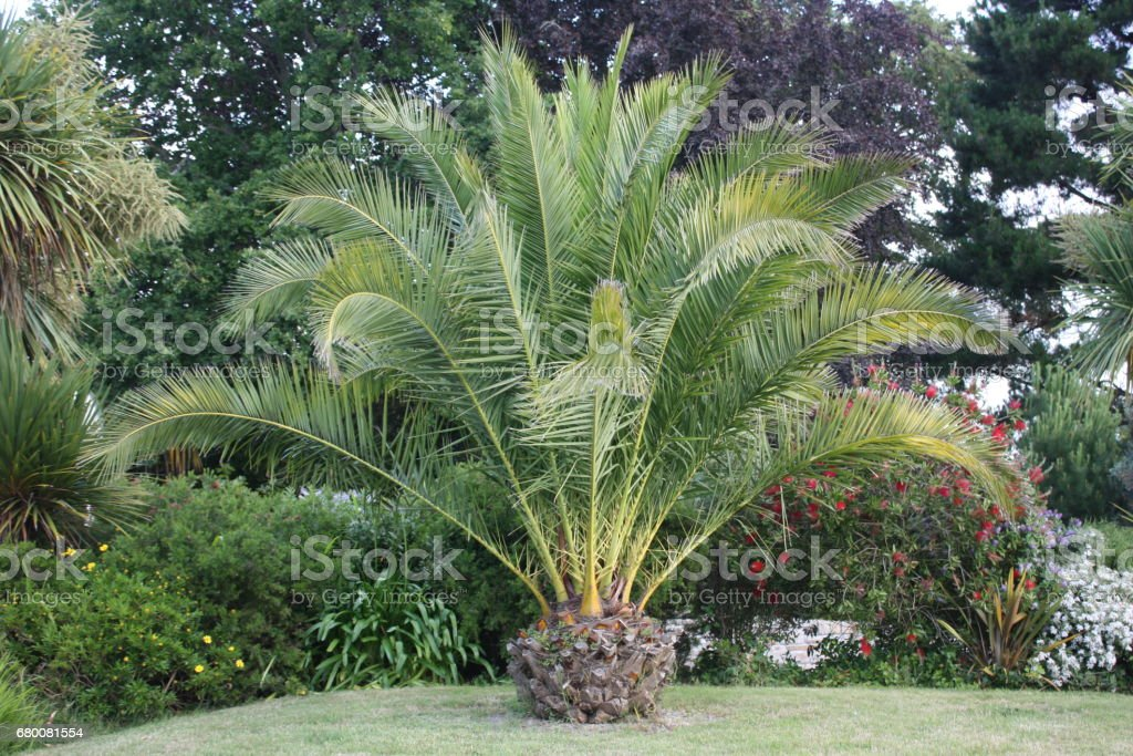 Palmier Nain Jardin Paysage Stock Photo Download Image Now