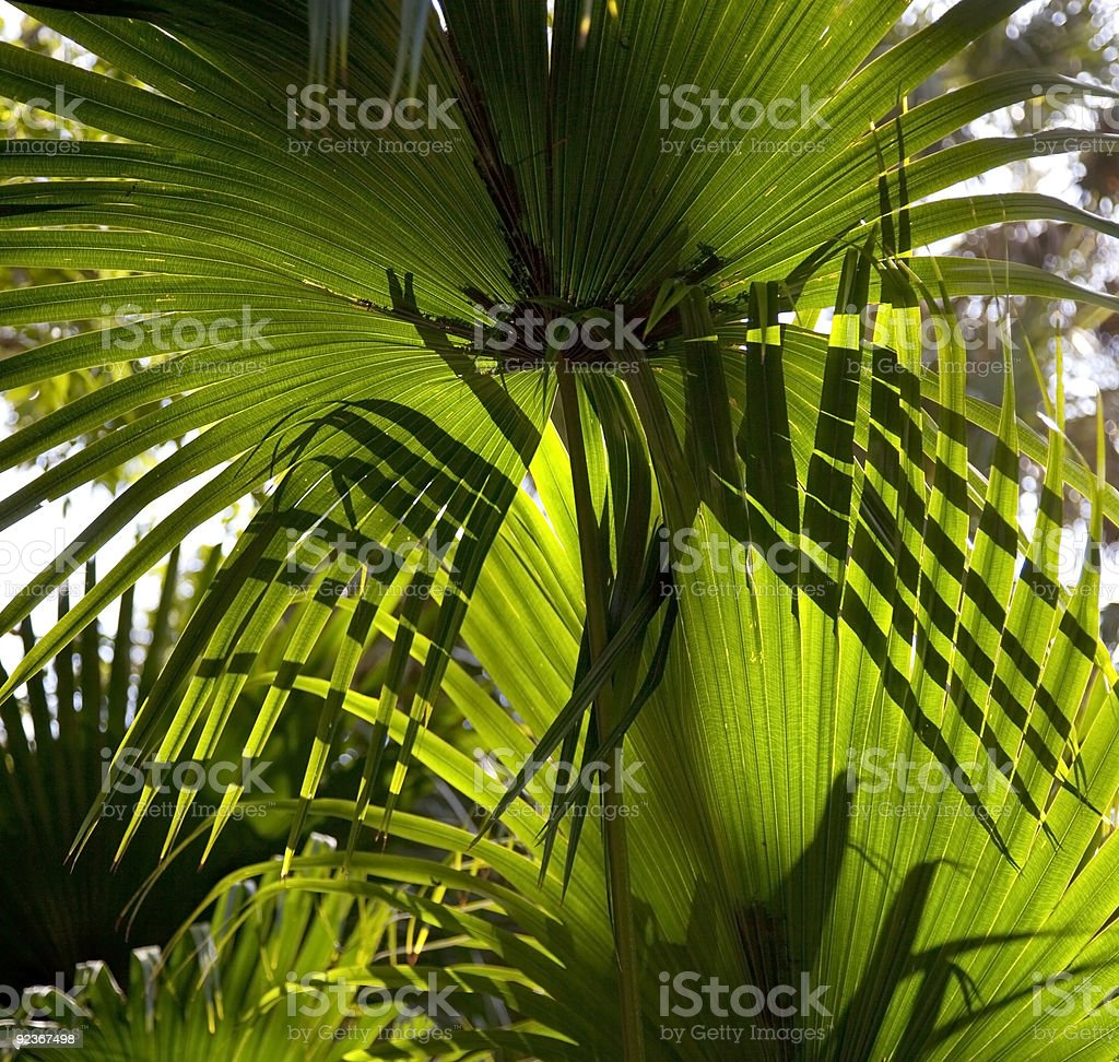 Saw Palmetto Leaves royalty-free stock photo