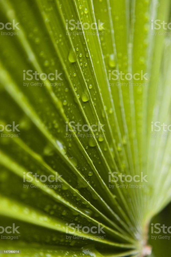 Saw Palmetto Misted with Rain stock photo