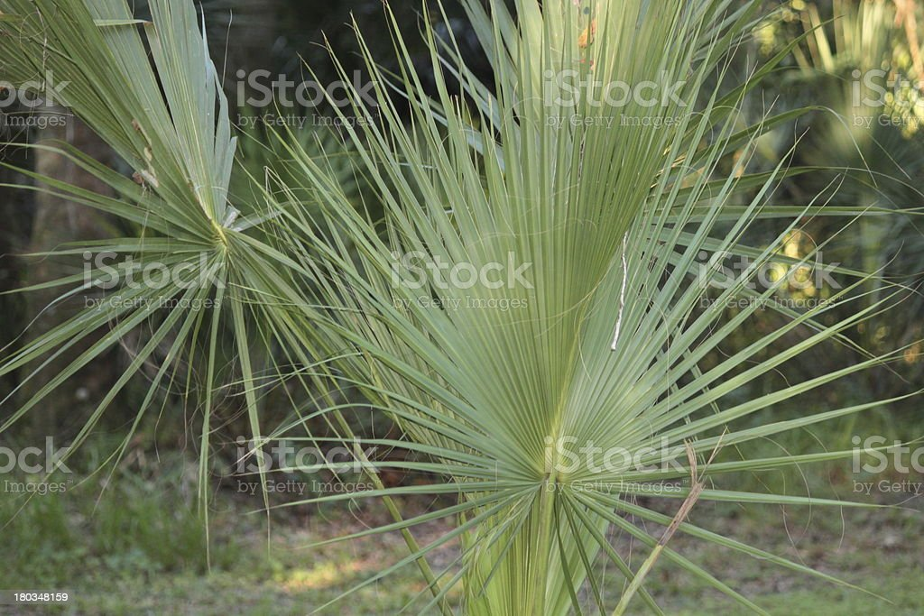 Saw Palmetto royalty-free stock photo