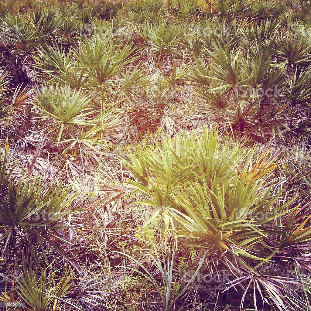 Saw Palmetto Plants in Florida royalty-free stock photo