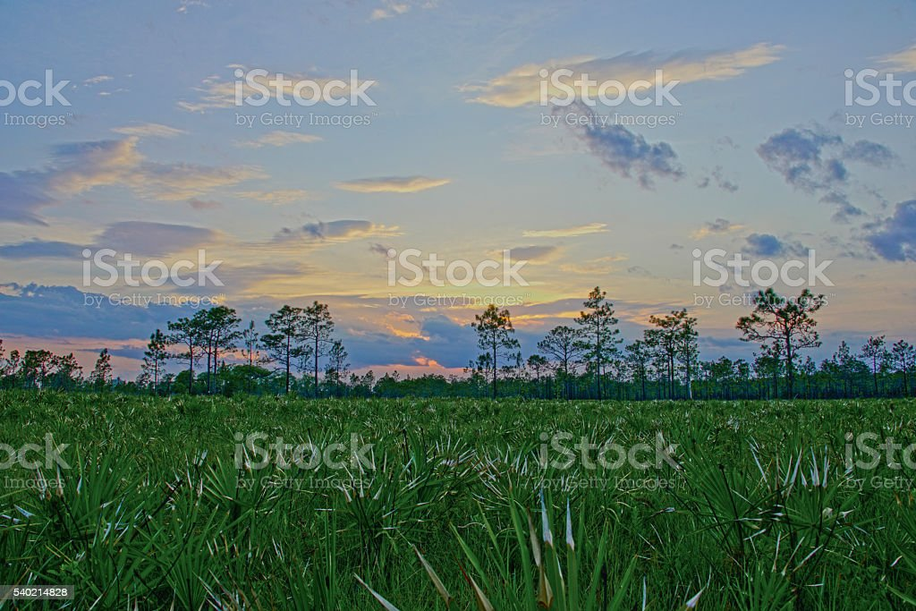 Saw Palmettos in a Park at Sunset in Central Florida stock photo