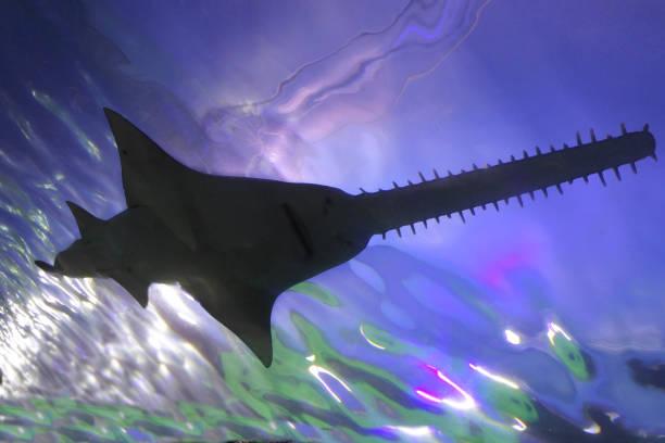 saw shark natación silueta submarina - pez sierra fotografías e imágenes de stock