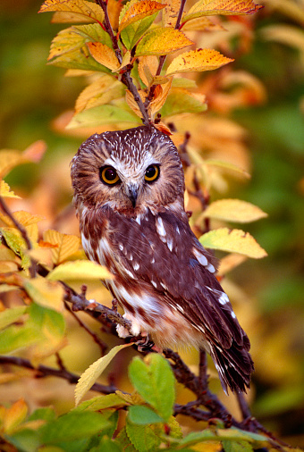An adult Saw Whet Owl perched on a yellow leaved tree in western Montana.