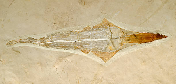 pez sierra de fósiles. 1 metro de longitud. - pez sierra fotografías e imágenes de stock