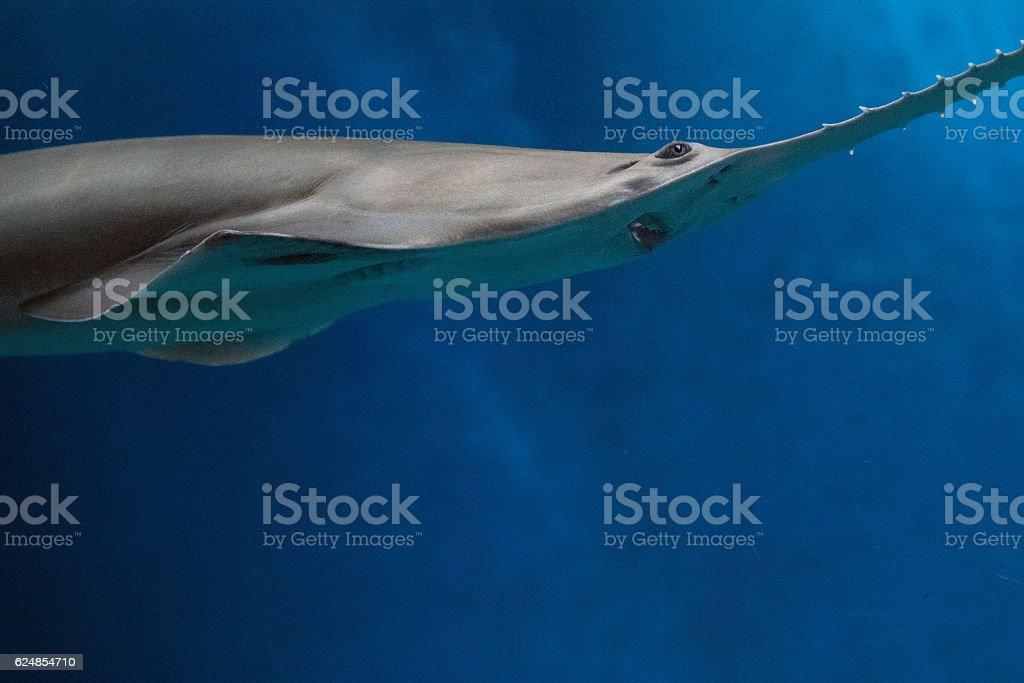 sawfish shark family underwater close up detail stock photo
