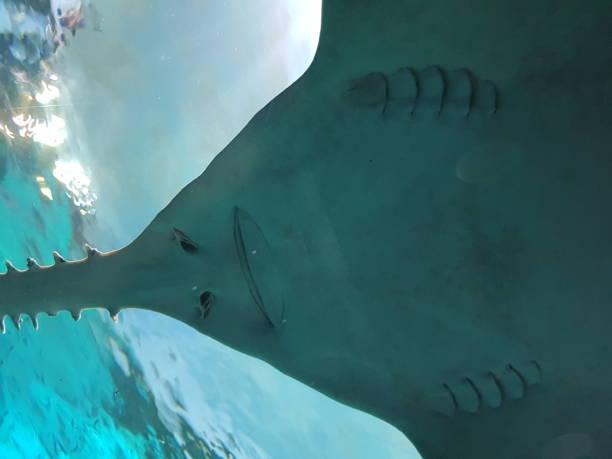 tiburón sierra bajo el agua - pez sierra fotografías e imágenes de stock