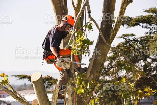 Sawing very tall tree picture id1131581722?b=1&k=6&m=1131581722&s=612x612&h=nsuyhj27ozvtzzryivhdfq3gua7vmyh3m7jtvbximoc=