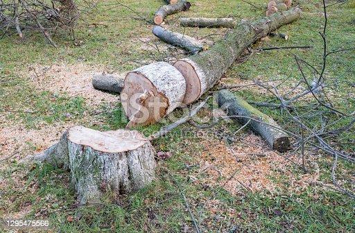 istock Sawn tree trunk and tree stumps, harvesting firewood. 1295475566