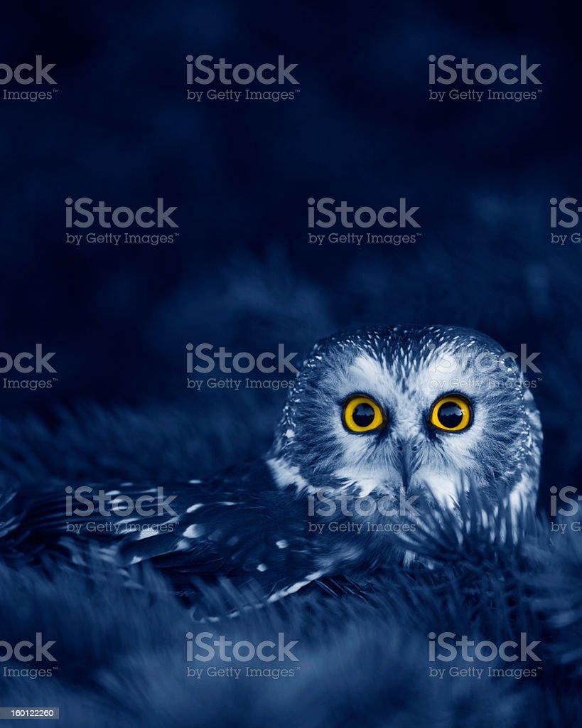Saw-whet owl at night stock photo